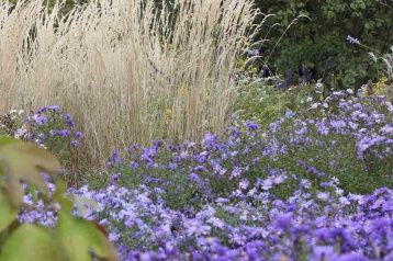 Aster with ornamental grasses