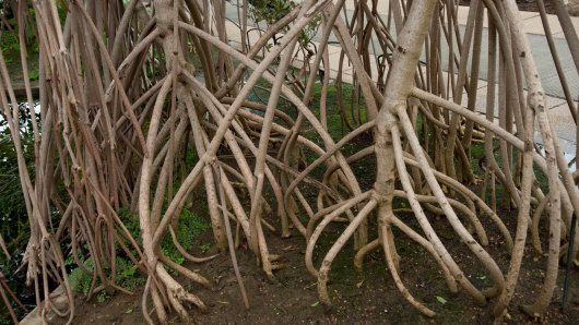 Rhizophora mangle in Kew's Princess of Wales Conservatory