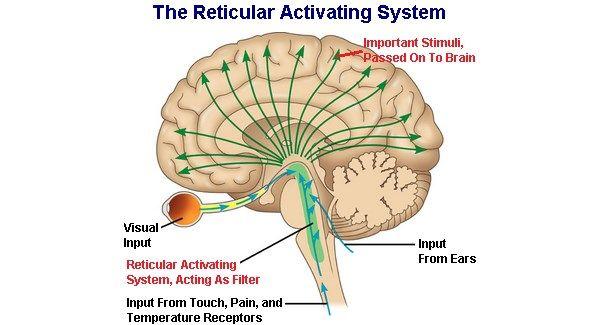 Reticular Activating System The Brain Pinterest Reticular