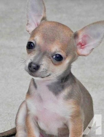 Stunning Female Blue Teacup Chihuahua Puppies Teacup Chihuahua
