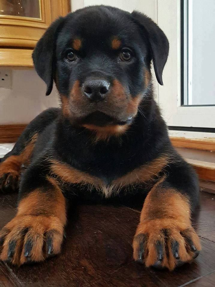 Resultado de imagen para Rottweiler    犬  美しい