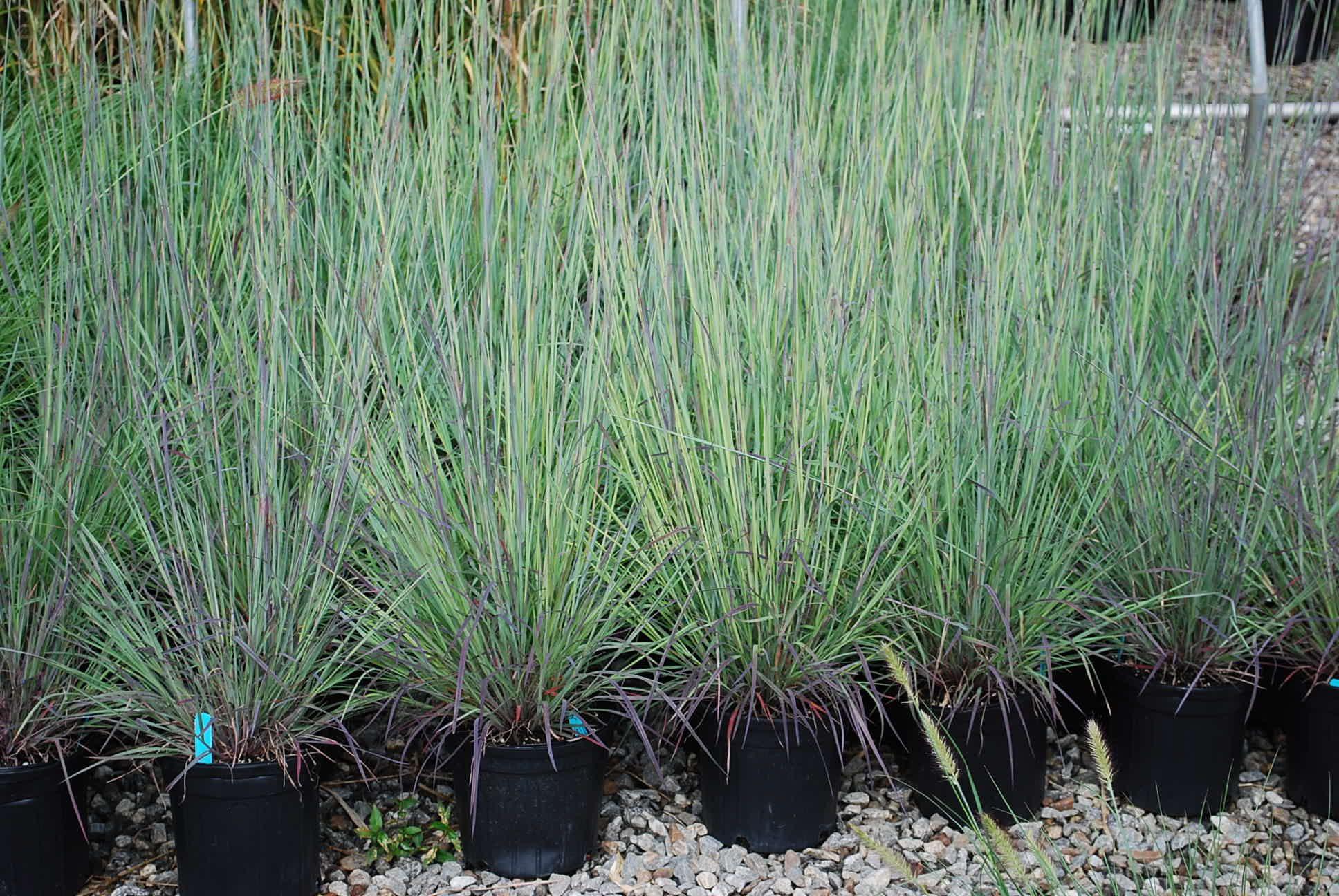 Top 10 low maintenance plants for illinois landscaping green t little blue grass de tige standing ovation par daylilynursery workwithnaturefo