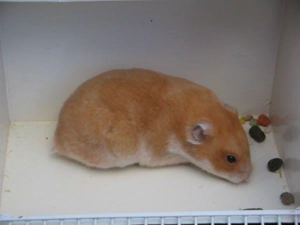 Honey Syrian Hamster Hamster Central Syrian Hamster Hamster