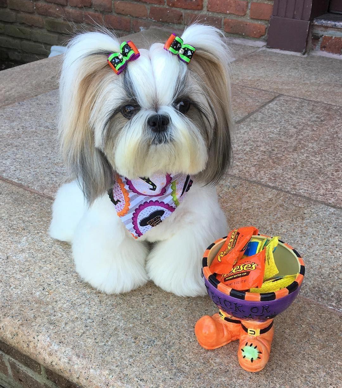 Shih Tzu Affectionate And Playful Cute Small Dogs Shih Tzu Dog