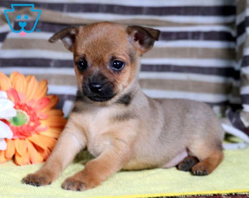 Mike Chihuahua Mix Puppy For Sale Keystone Puppies Chihuahua Mix Puppies Chihuahua Mix Puppies For Sale