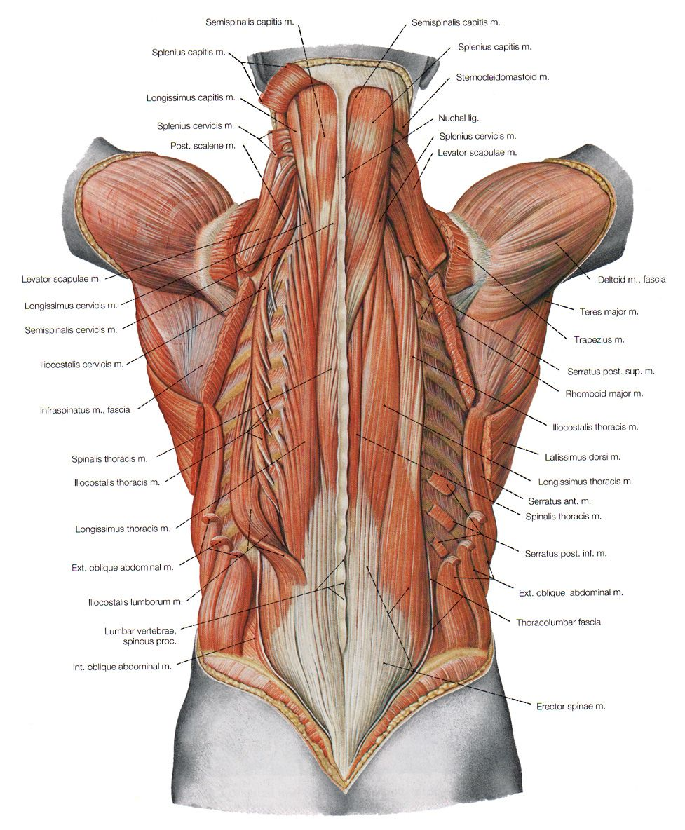 Name Of Lower Back Muscles : lower, muscles, Anatomía