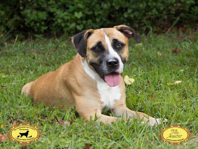 American Bulldog Dog For Adoption In Green Cove Springs Fl Adn