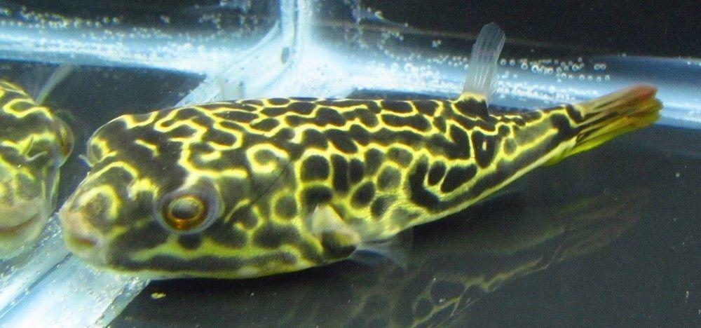 Tetraodon Mbu Puffer Live Freshwater Aquarium Fish Fish Fish Pet Fish For Sale