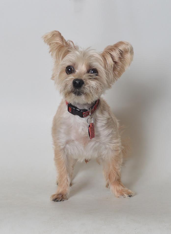 Maltese Dog For Adoption In Fruit Heights Ut Adn 558541 On