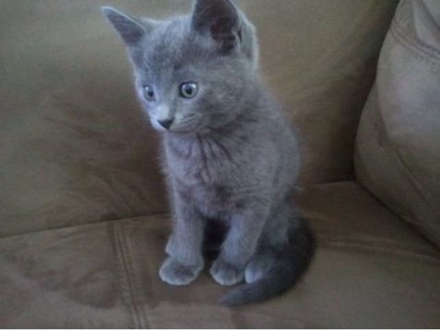 Russian Blue Kittens For Good Homes Animals Los Ojos New Mexico Announcement Russian Blue Kitten Russian Blue Blue Cats