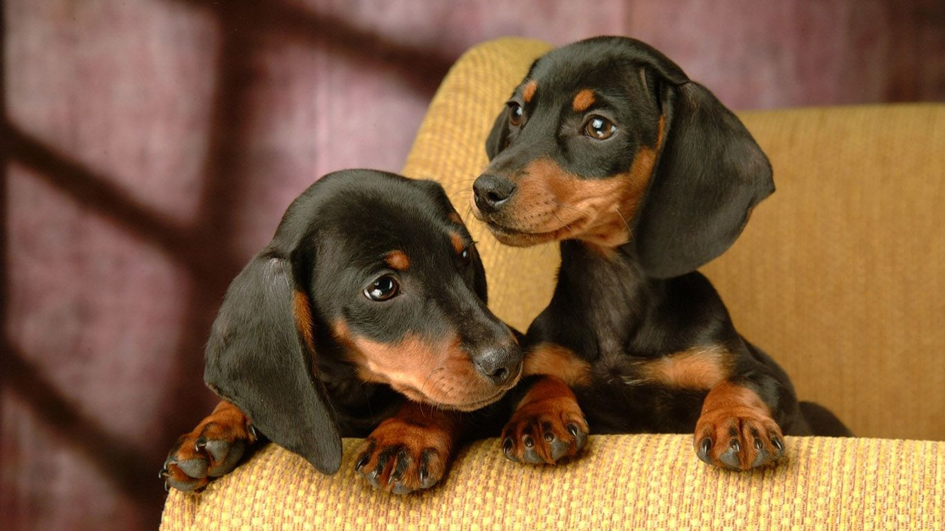 Dachshund Puppies Wallpaper 1366x768 1366x768 Dachshund Puppy Miniature Dachshund Puppies Baby Dachshund