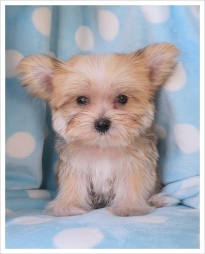 beautiful landscape (With images) Morkie puppies