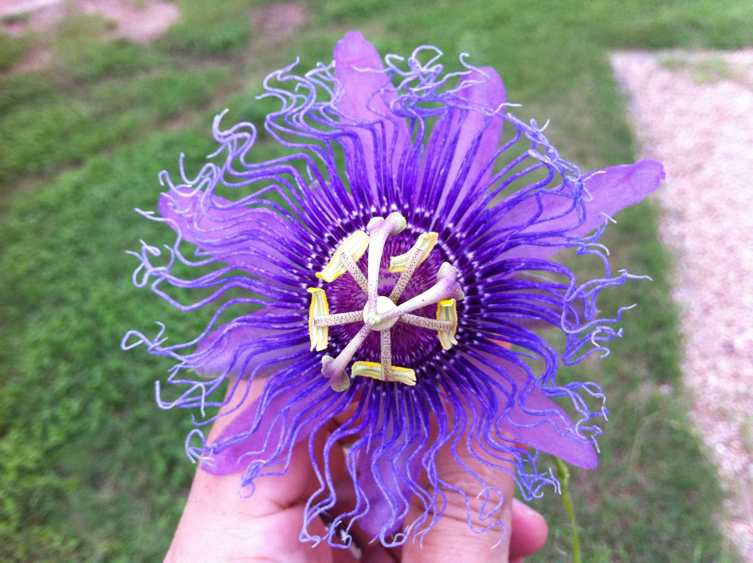 Crazy plant. Passion fruit flower Passion fruit flower