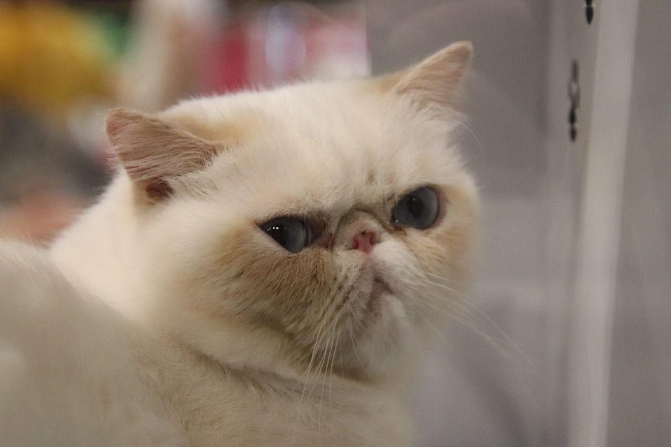 Persian Cats For Sale In Delhi Persian Cats For Sale Persian Cat Kitten For Sale
