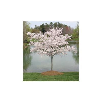 3 4 Ft Yoshino Cherry Flowering Trees Flowering Cherry Tree Yoshino Cherry Tree