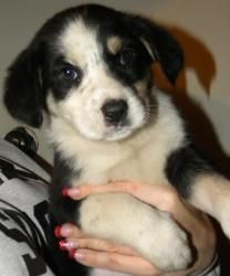 Harriet Is An Adoptable Border Collie Dog In Mount Olive Nj