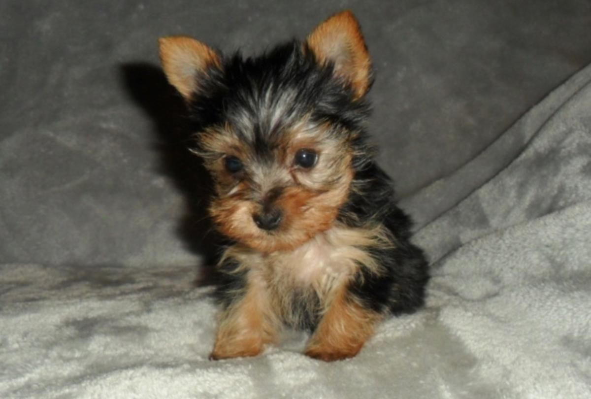 Tiny Teacup Girl Yorkie Charting At Only 3 5lbs Full Grown Yorkie Puppies Yorkies For Sale