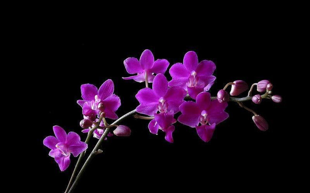Purple Orchid Flower Widescreen Wallpaper Hd Picture Flower Orchid Wallpaper Purple Orchids Purple Flowers Wallpaper