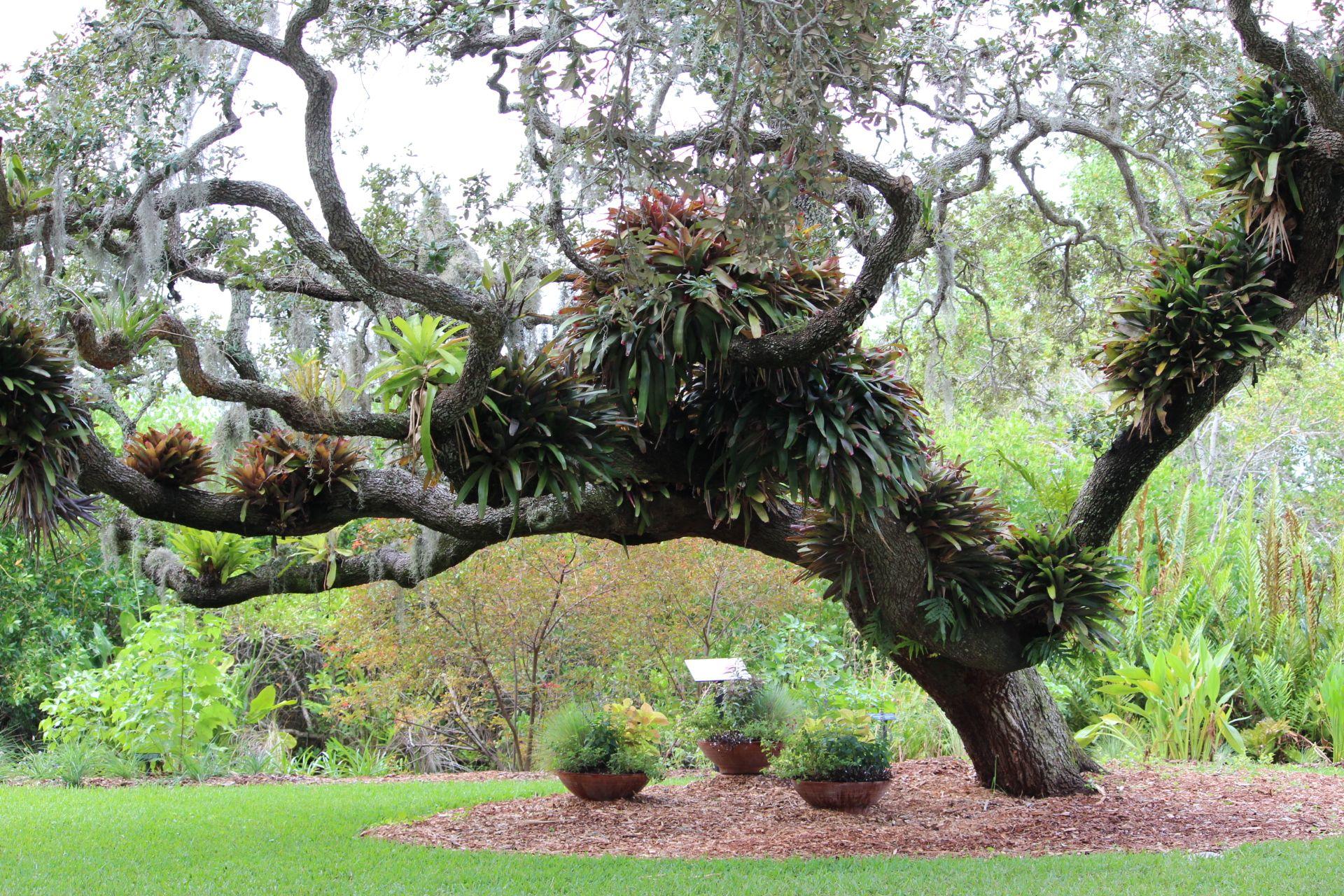 Marie Selby Botanical Gardens Sarasota Fl Selby Gardens Botanical Gardens Venice Florida Live Oak Trees