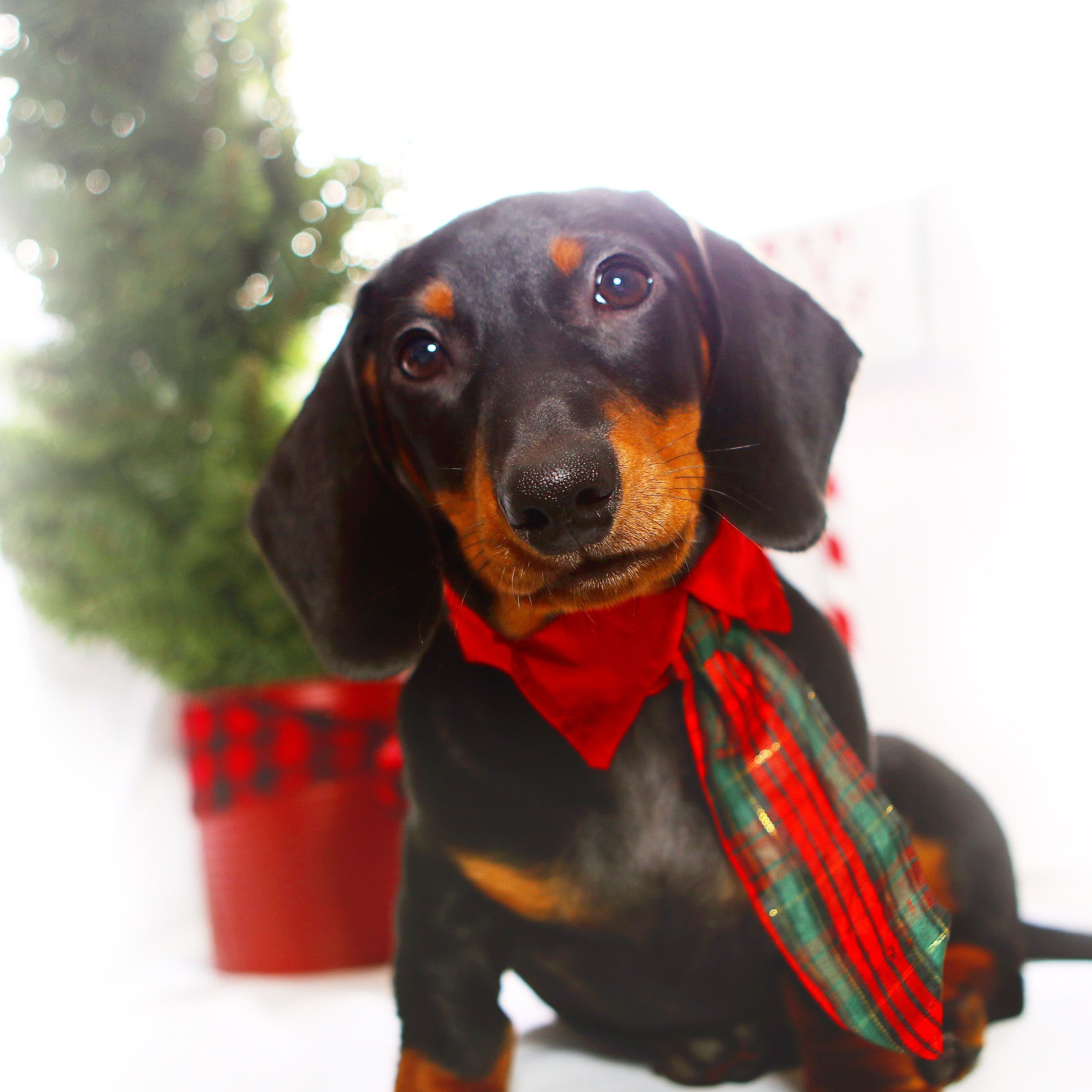 It S A Doxie Christmas Dachshund Doxie Wiener Dog Black And