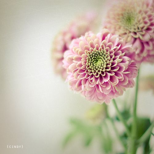 Dahlia The National Flower Of Mexico Going Into My Next Tattoo Somehow Chrysanthemum Flower Flowers