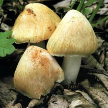 съедобные грибы с фото и названием и