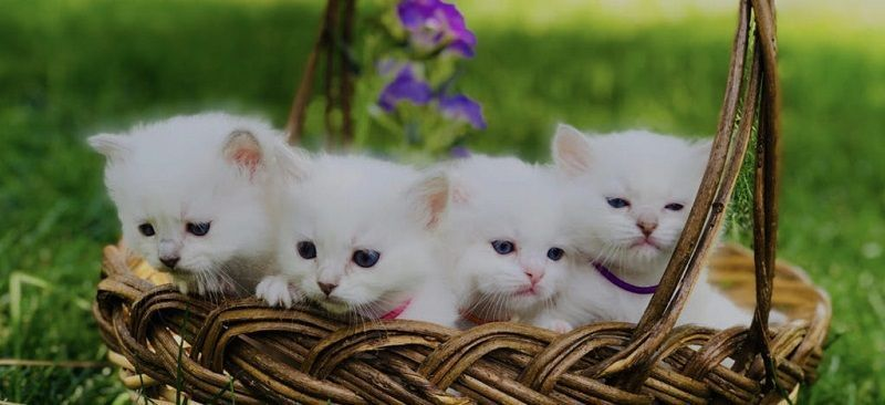 Ragdoll kittens for sale Seattle ragdollkittens At Lilac