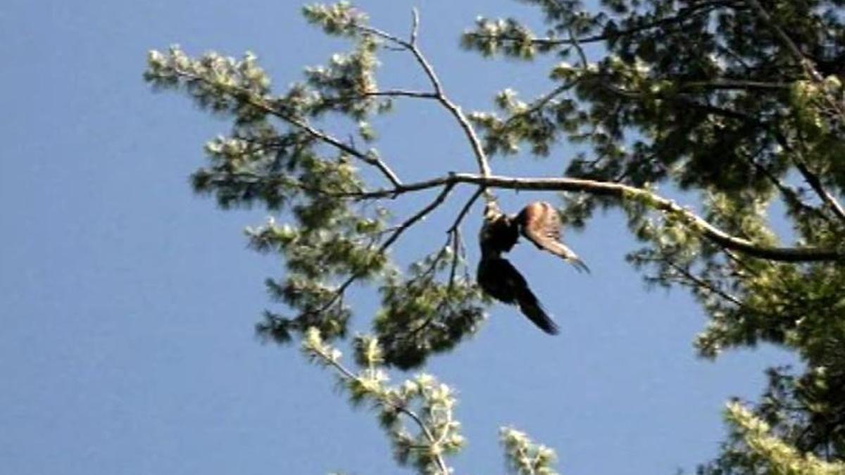 Kopfüber im Baum gefangen: US-Amerikaner rettet Adler mit 150 Gewehrschüssen