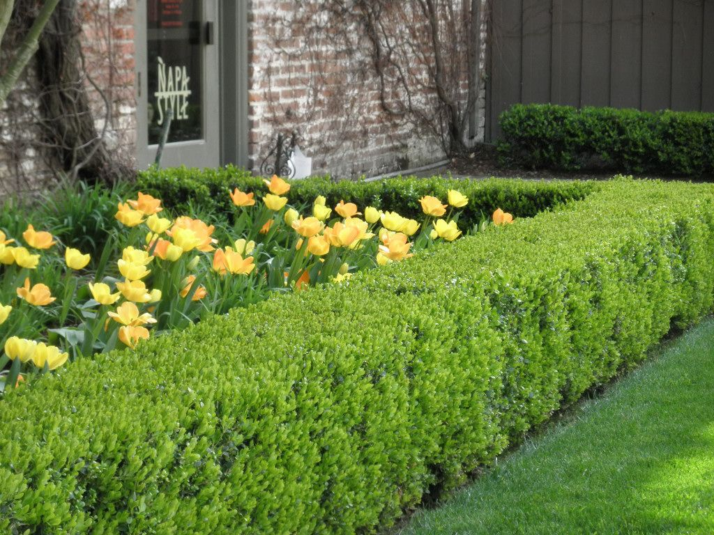 Boxwood Hedge W Tulips Google Image Result For Http 4 Bp