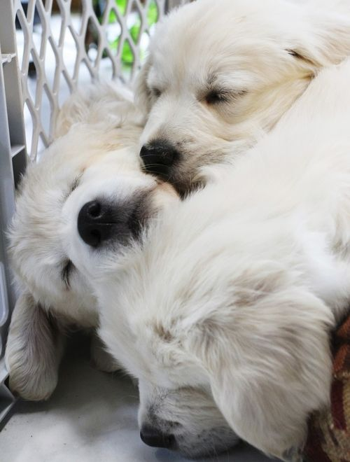 sleeping puppy pile