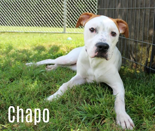 Adopt Chapo On Family Pet Pitbull Terrier Terrier Mix Dogs