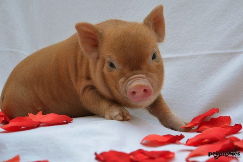 Micro Pig Valentine More   Valentine Pig