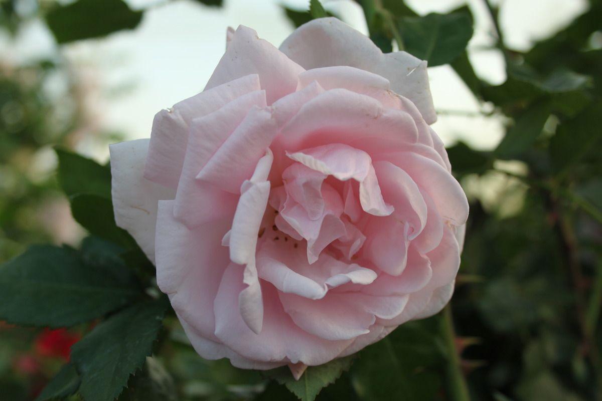 kletterrose new dawn garden 54 rose plants flowers