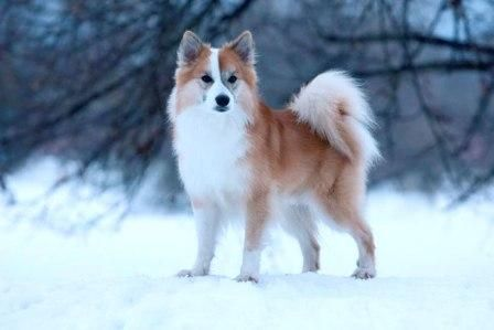Pentu Uutisia Dogs Animals Corgi