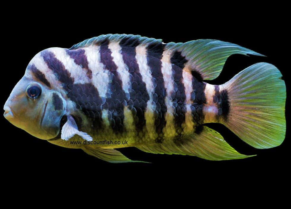 The Uk S Number One Aquatic Tropical Fish And Invert Online Store Delivered To Your Door Tropical Fish Cichlid Fish Cichlids
