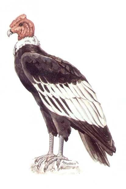 El dibujo del condor de los andes - Imagui   dibujos para estudio ...
