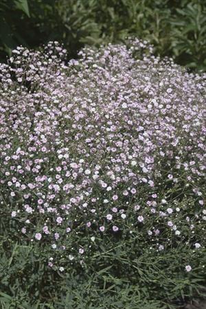 Gypsophila Paniculata Pink Fairy Aka Baby S Breath Plants Hosta Plants Perennial Plants
