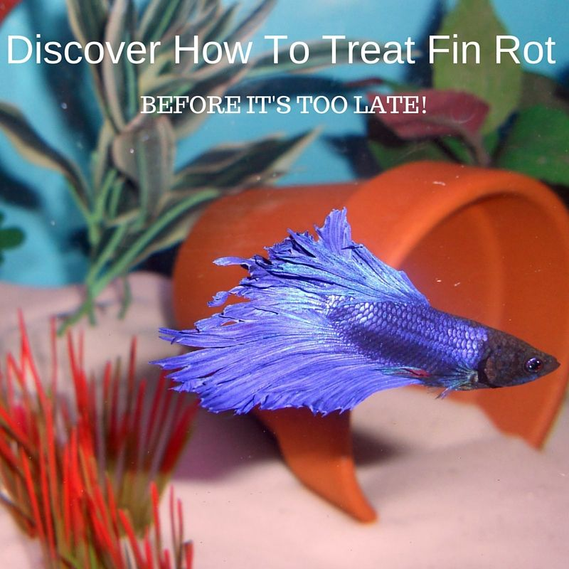 Betta Fish Fin Rot Can It Be Cured About Betta Fish Tanks Betta Fish Tank Fish Betta Fish