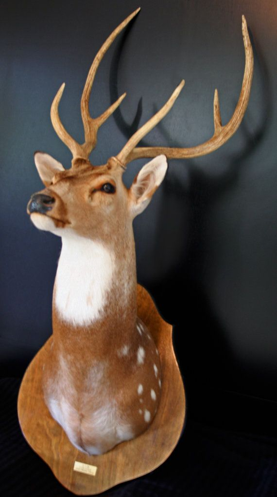 Vintage Taxidermy Axis Deer Stag Trophy Mount Great