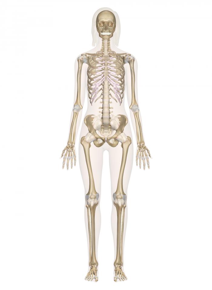 Skeletal System Human Body Unit Study Human Skeletal System Human Skeleton Model