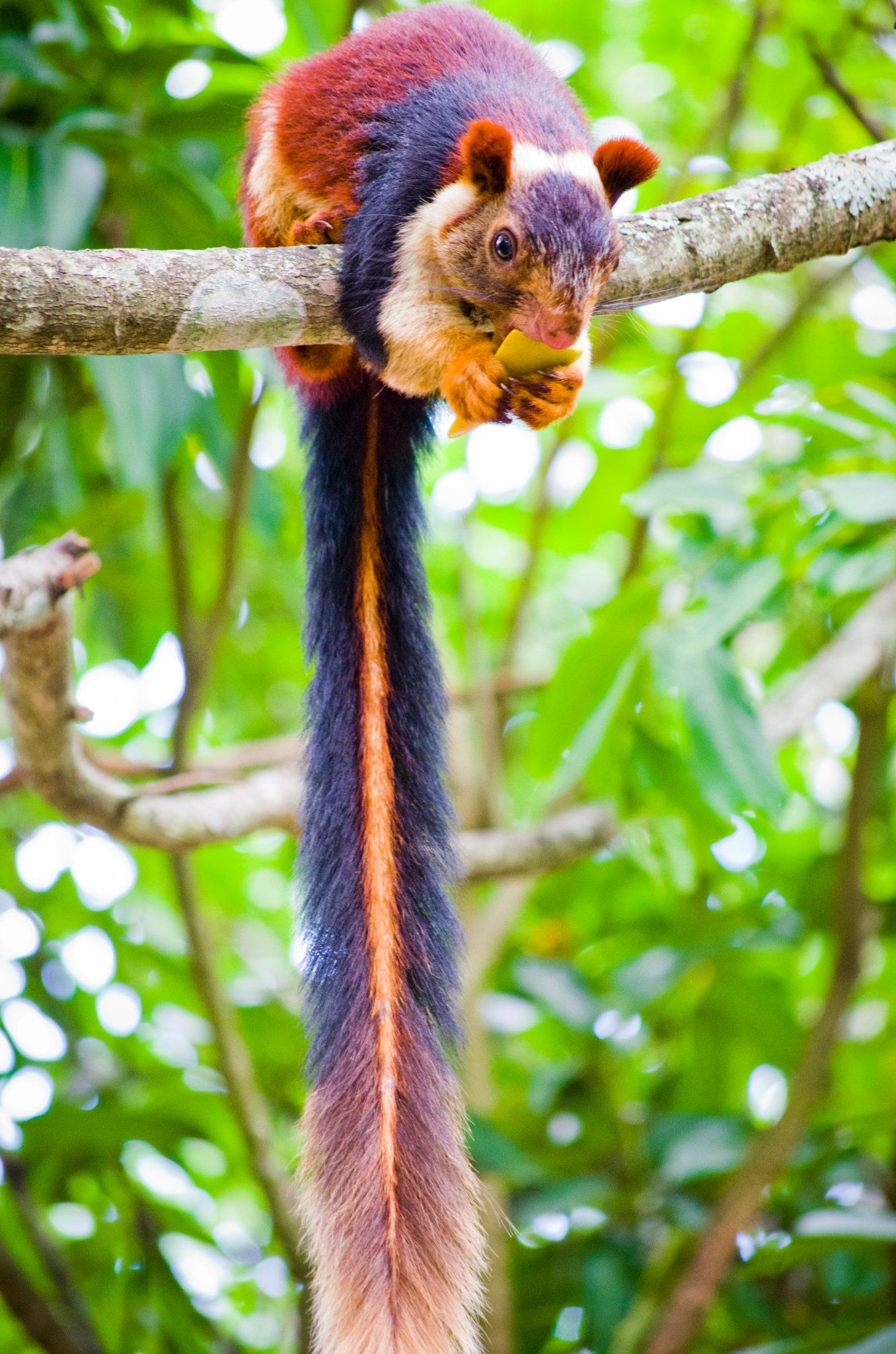 The Indian giant squirrel, or Malabar giant squirrel