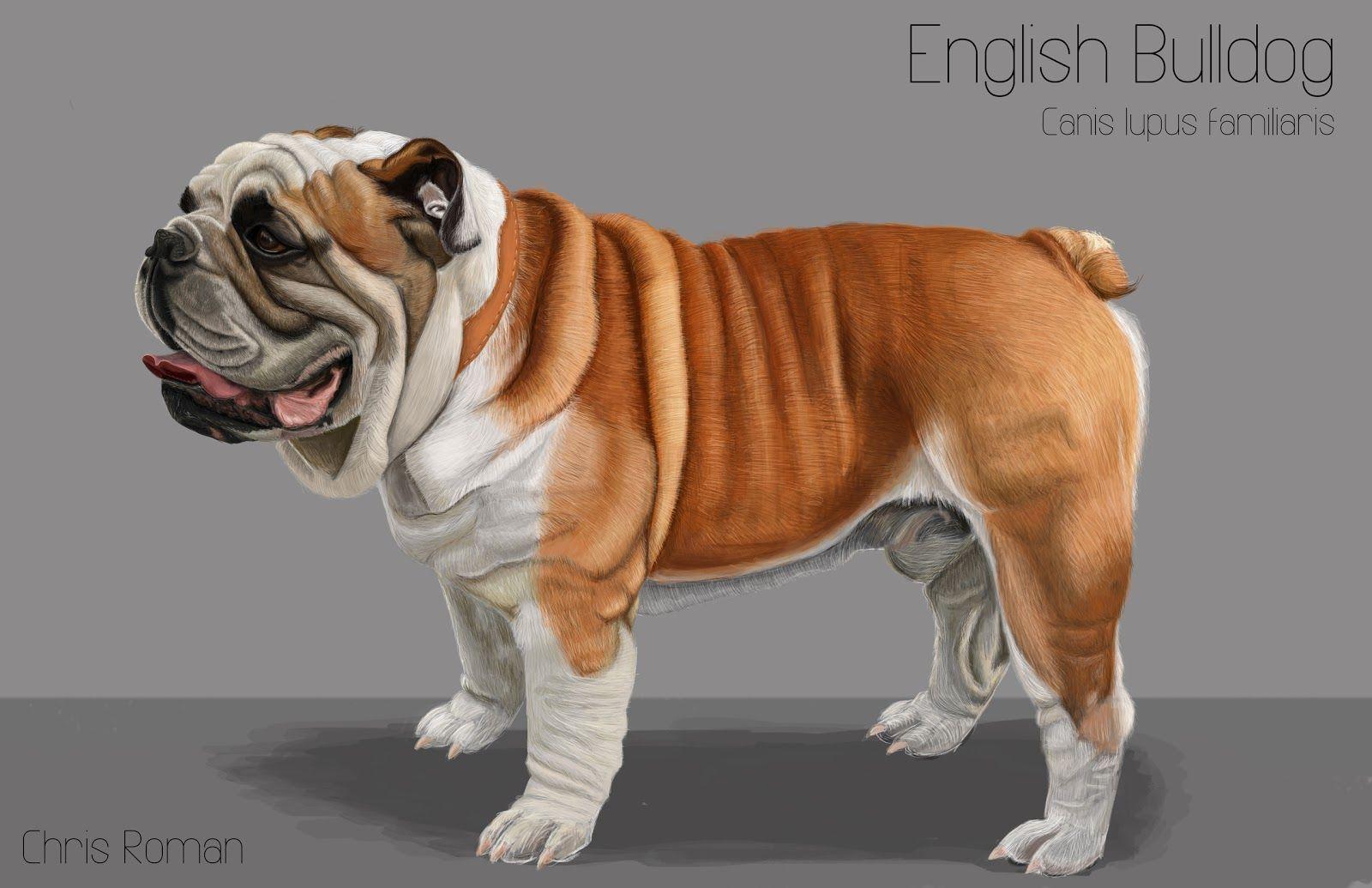 English Bulldog Anatomy Study Caes Animais Animacao