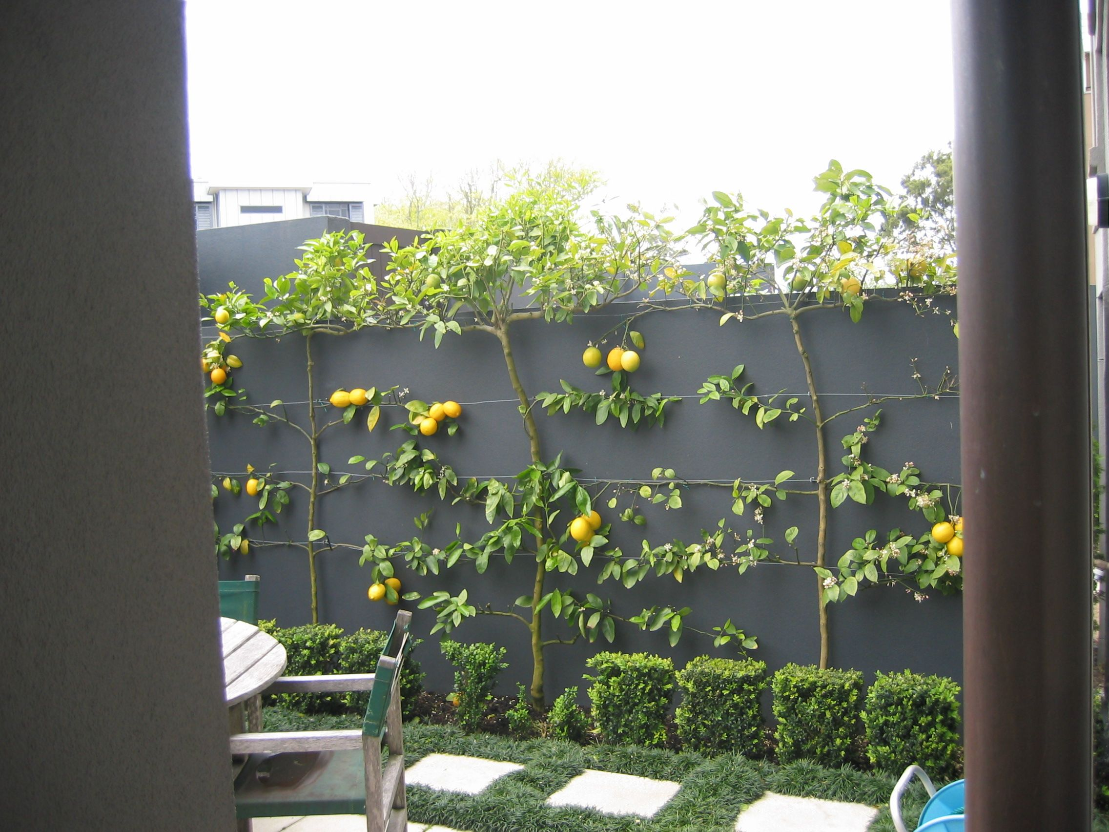 Espaliered Lemons And Limes Espalier Fruit Trees Townhouse Garden Sloped Garden