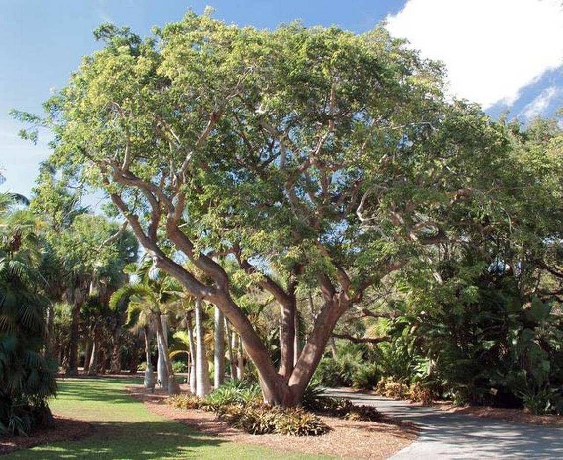 PlantFiles Pictures: Bursera Species, Dysentery Bark