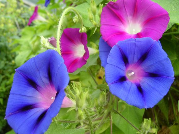 Morning Glories I Have The Sunrise Blend Morning Glory Flowers Morning Glory Plant Morning Glory Vine