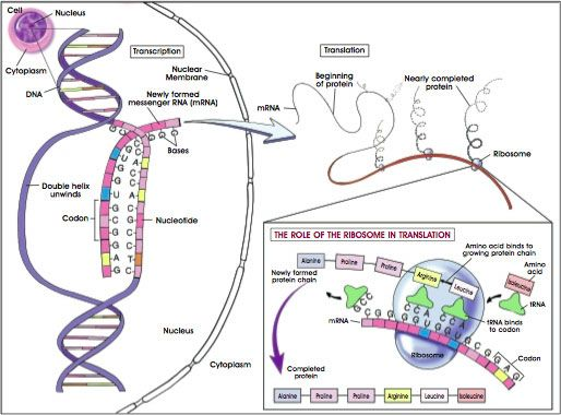 Gene Transcription, Translation, and Protein Synthesis. | DNA ...