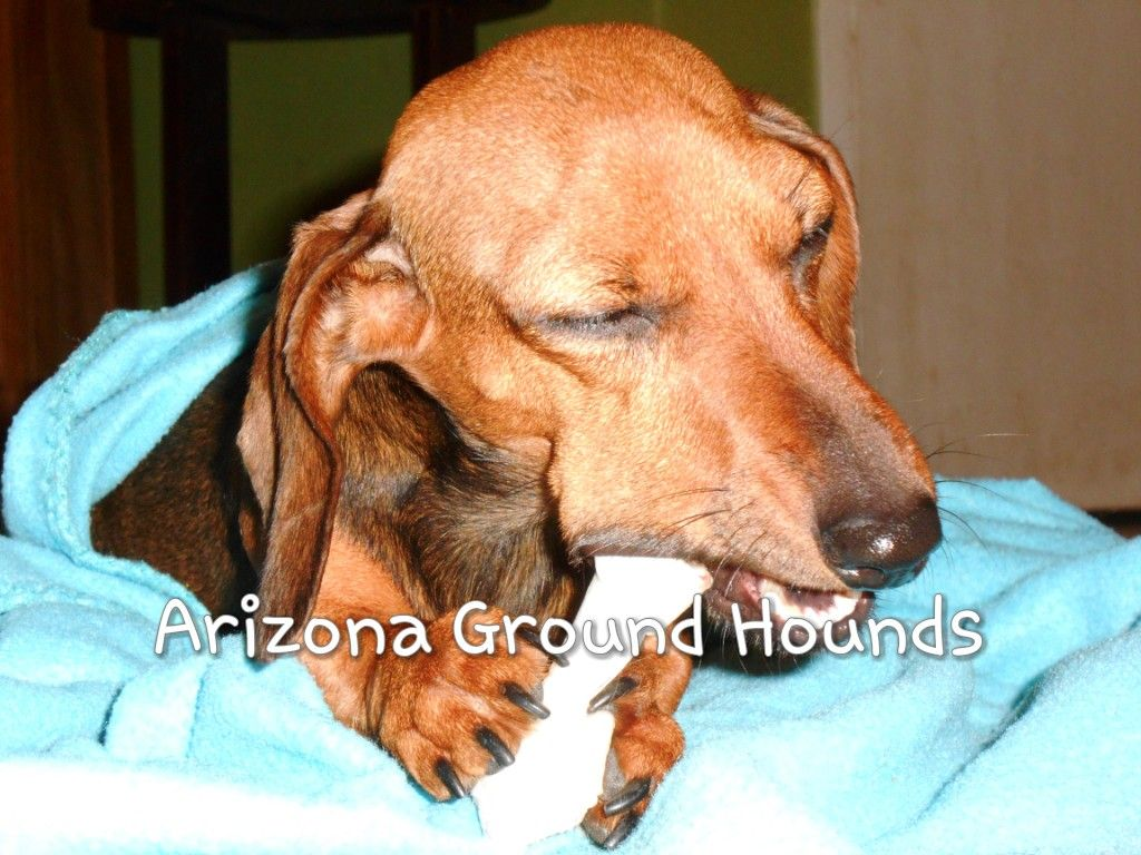 Chili Shaded Red Kaninchen From Arizona Ground Hounds On Fb
