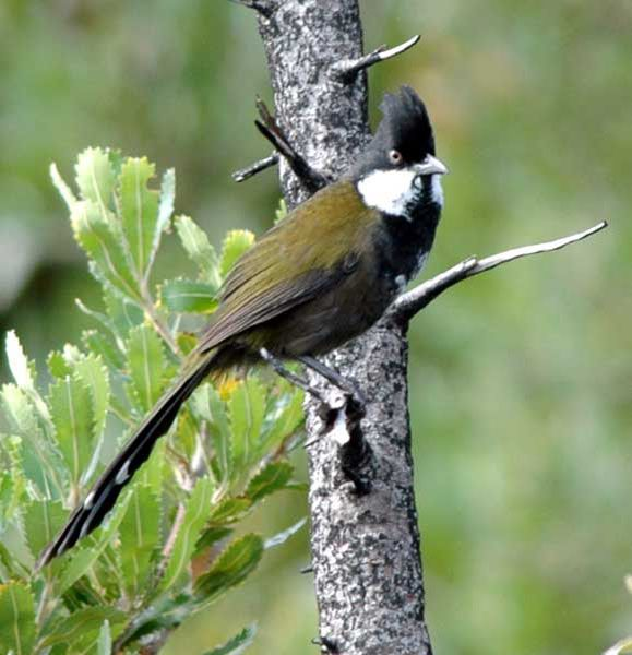 photos of whip birds in trees - Google Search