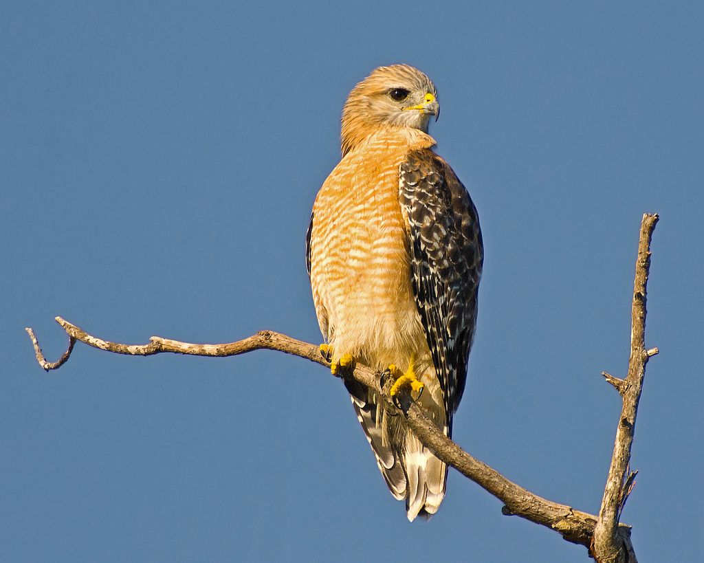 Red Shouldered Hawk Buteo Lineatus 019