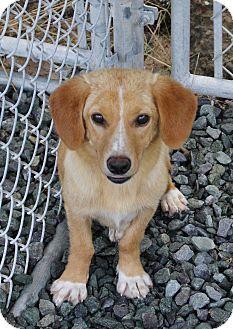Pinehurst Nc Corgi Mix Meet Becca A Puppy For Adoption Http